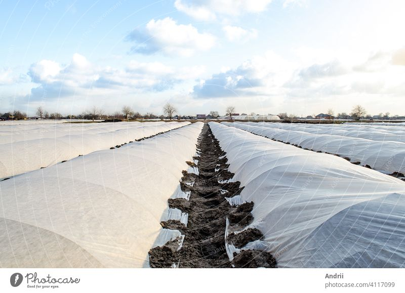 Farm potato plantation sheltered with spunbond spunlaid nonwoven agricultural fabric. Greenhouse effect. Early harvest, protection from frost and wind. Innovative technologies in agriculture