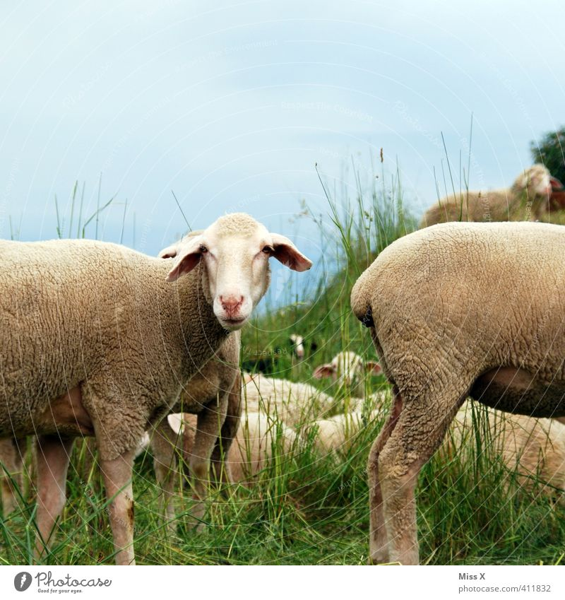 anterior face Grass Meadow Field Animal Farm animal Group of animals Herd To feed Hind quarters Sheep Flock Sheepskin Moorland sheep Smelly Colour photo