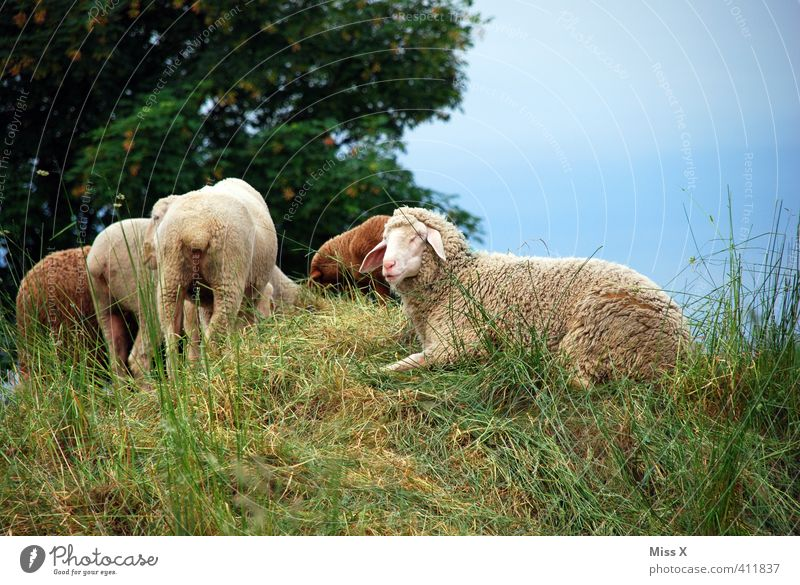 Meadow Lie Field Hill Pasture Sheep To feed Farm animal Herd Flock Shepherd Sheepskin