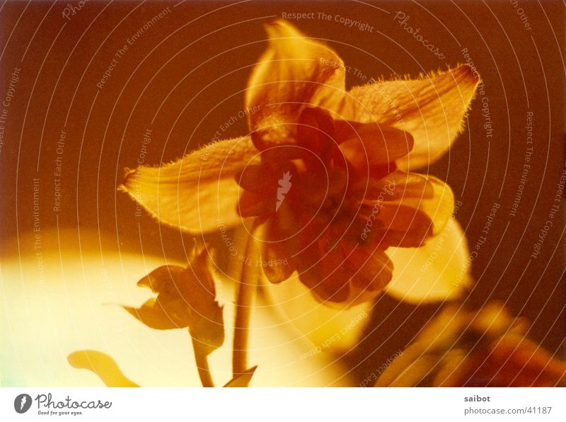 firecracker Flower Back-light Blossom Macro (Extreme close-up)
