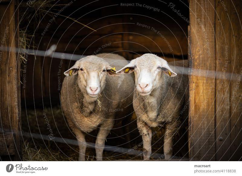 sheep Couple couple Married couple Farm Zoo Wool Lamb's wool organic Ecological Fence Captured captivity Quarantine corona
