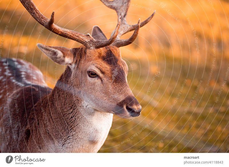 Deer in evening sun stag Evening sun Wild animal Sunlight dänner Animal antlers Bast Nature captivity Forest portrait animal portrait