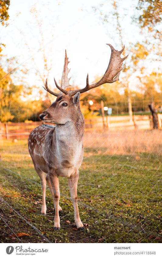 Deer in evening sun stag Evening sun Wild animal Sunlight dänner Animal antlers Bast Nature captivity Forest