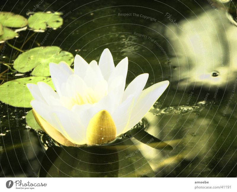 Nature Water Pond Aquatic plant Water lily