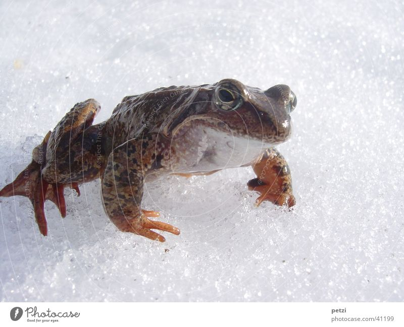 Frog in the snow Snow Cold In transit Smoothness crystals Colour photo Exterior shot Detail Copy Space top Copy Space bottom Neutral Background Worm's-eye view