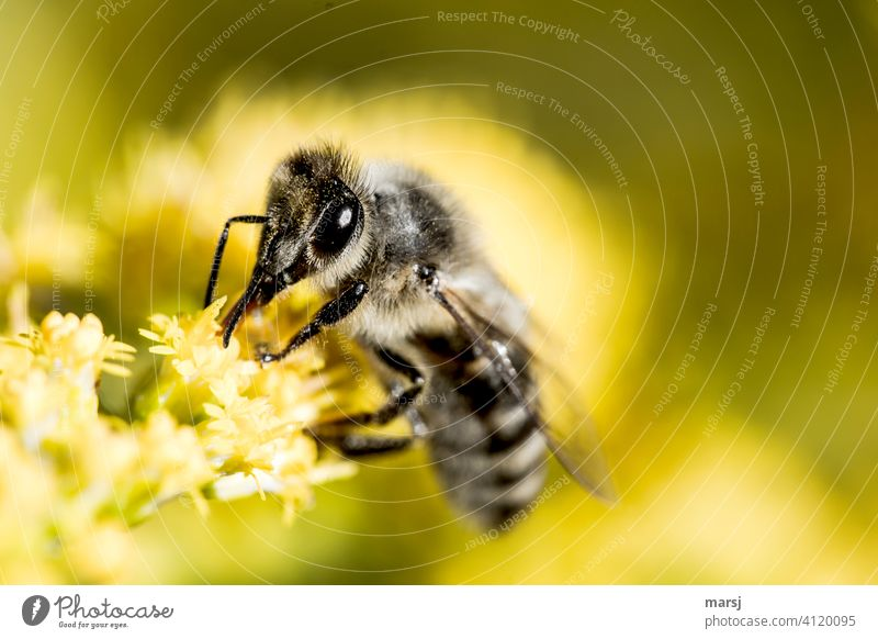 A busy wild bee starts the new week with a lot of eagerness Insect Inseminate animal portrait faceted eyes food source Animal Nature Plant Blossom Colour photo