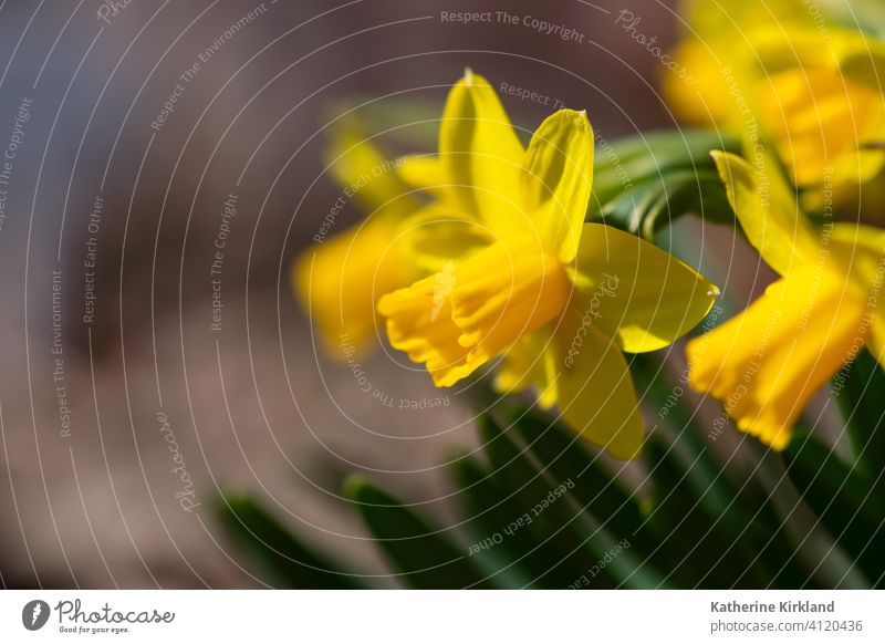 Bright Yellow Daffodil daffodil group yellow brown Flower Spring Seasonal plant leaf Blooming Garden Gardening narcissus Fresh freshness copy space bunch Nature