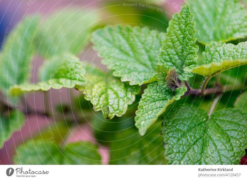 Lemon Balm Leaves balm herb herbal leaf leaves Gardening Green medicinal medicine medical flavor seasoning flavoring plant Grow Growing Growth Summer Spring