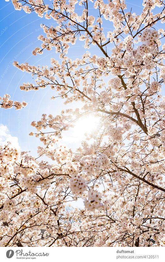 Tree with white flowers against blue sky cherry blossom Blue sky Spring Hanami Nature Blossom Plant Blossoming Cherry blossom Exterior shot Spring fever Garden