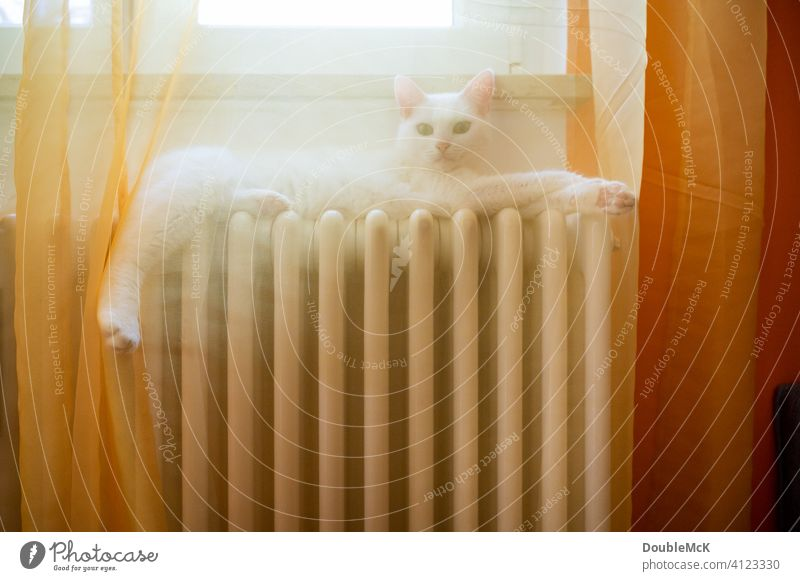 A white cat lies on the radiator behind a curtain and relaxes Colour photo Day Cat Heating Curtain Lie reclining Pet Animal Animal portrait 1 Interior shot