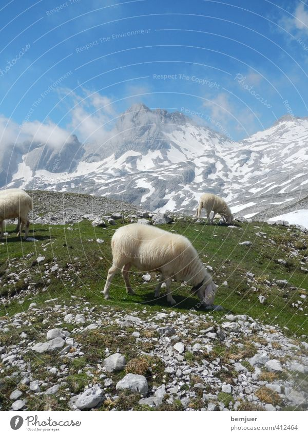 A sheep called Reinhold Nature Landscape Plant Air Sky Clouds Summer Beautiful weather Snow Grass Alps Mountain Zugspitze Farm animal 3 Animal Authentic Cold