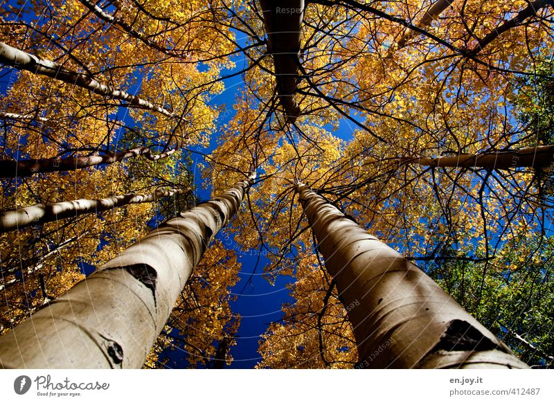 Sky Nature Blue Plant Tree Landscape Forest Yellow Environment Autumn Weather Climate Growth Tall Tree trunk Autumn leaves