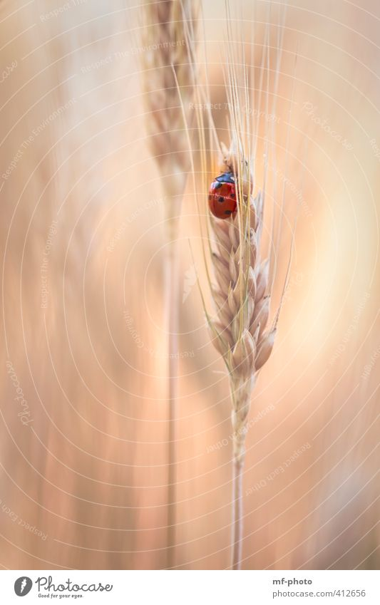 a place in the cornfield Summer Plant Field Animal Beetle Ladybird 1 Gold Orange Red Deserted Day