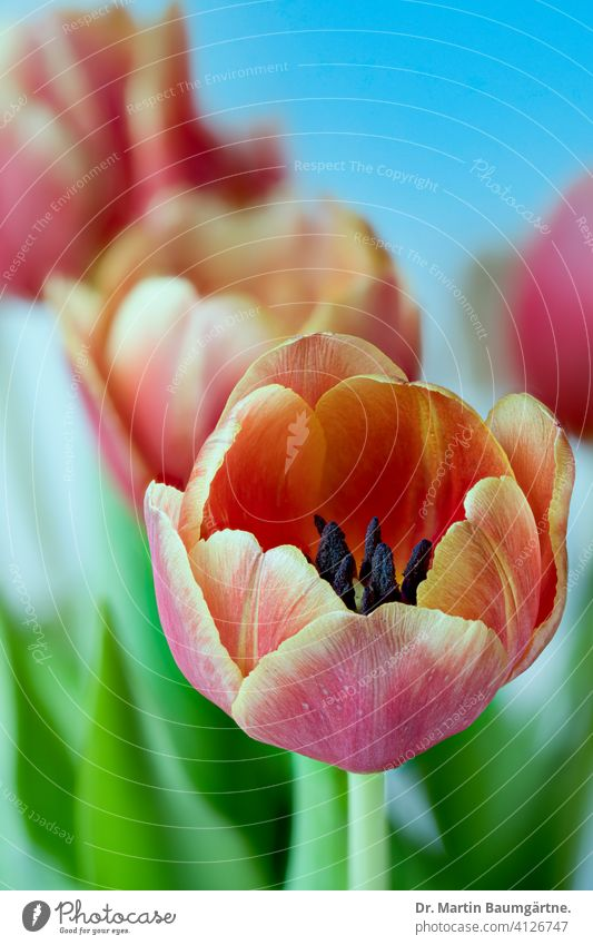 Flowering garden tulips Tulip Hybrid Tulips tulipa Hybrids Spring spring Liliaceae Lily plants Red Yellow bulb flower Plant Blossom Close-up
