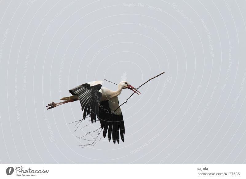 flying white stork with branch in beak White Stork Branch Flying Floating Beak Nest-building Spring fever Bird Animal Nature Exterior shot Wild animal