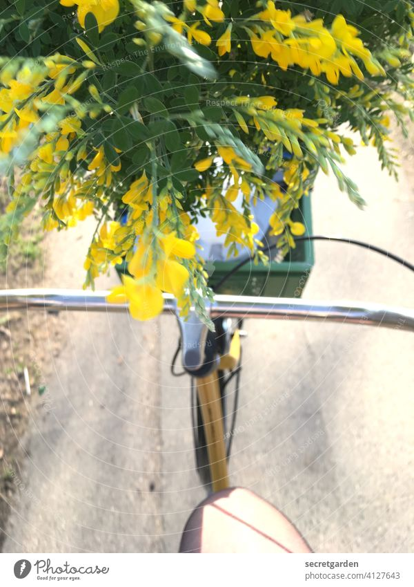 The high-spirited broom is not gloomy at all. hollandrad Broom Broom blossom Flower Bicycle Cycling Bicycle handlebars Cycling tour Exterior shot Colour photo