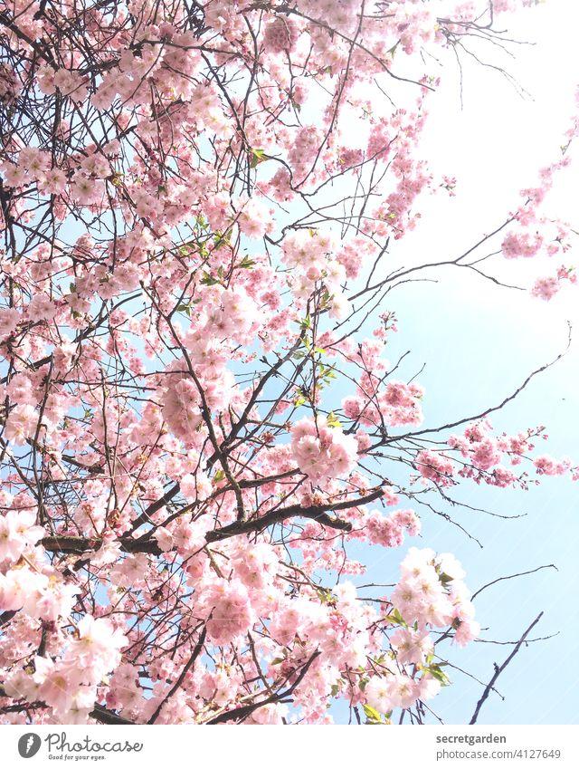 Sakura time. Kitsch Cherry Cherry blossom Spring Spring fever spring feeling Blossom Cherry tree Pink Tree Nature Colour photo Exterior shot Blossoming