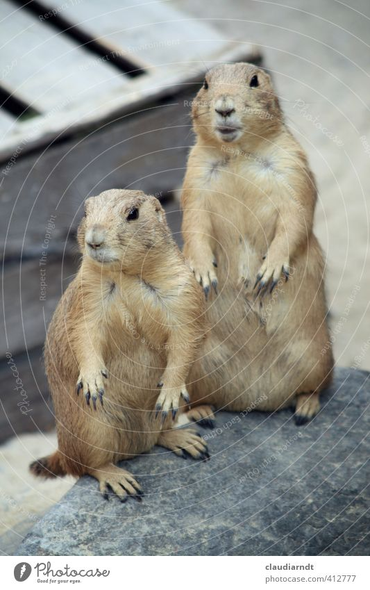 Now look at this! Animal Wild animal Pelt Claw Zoo Prairie dog 2 Pair of animals Stand Curiosity Interest Timidity Observe Watchfulness Marvel Surprise
