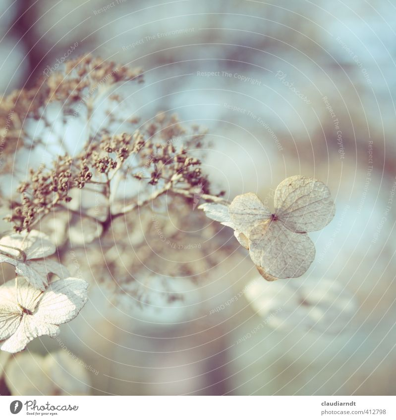 hydrangea Nature Plant Spring Winter Flower Blossom Hydrangea Garden Faded Old Dry Transience Shriveled Blur Dreamily Pastel tone Twigs and branches Delicate