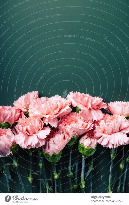 Bouquet of pink carnations on dark green background. flower border mothers day card bouquet close up bloom greeting top view flat lay copy space