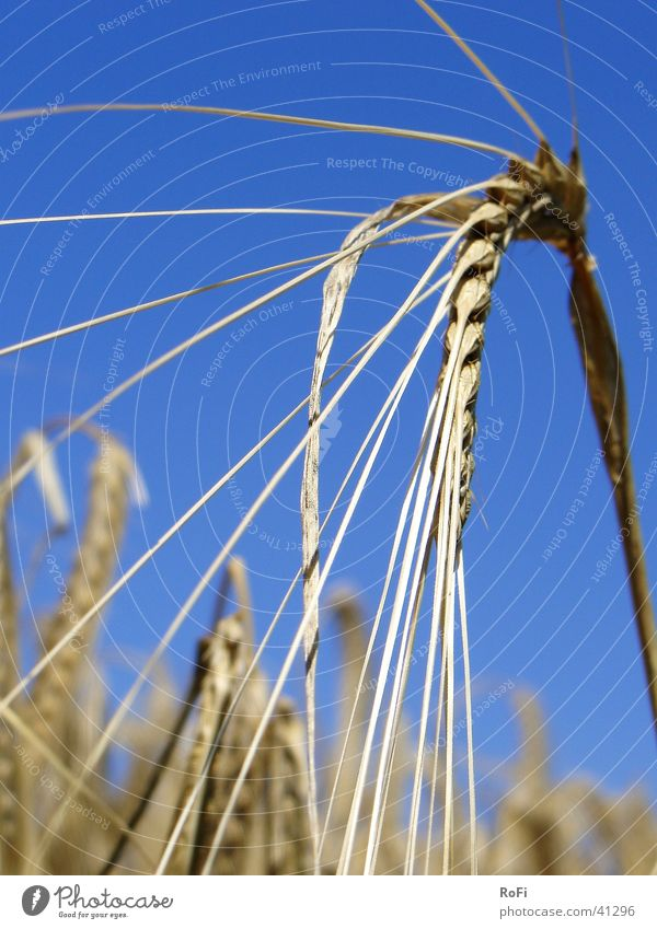 Sun Plant Summer Warmth Physics Grain Agriculture Ear of corn Barley