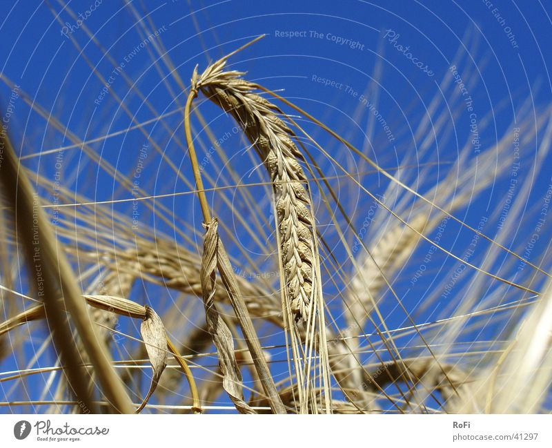 Sun Plant Summer Warmth Physics Grain Agriculture Ear of corn Barley