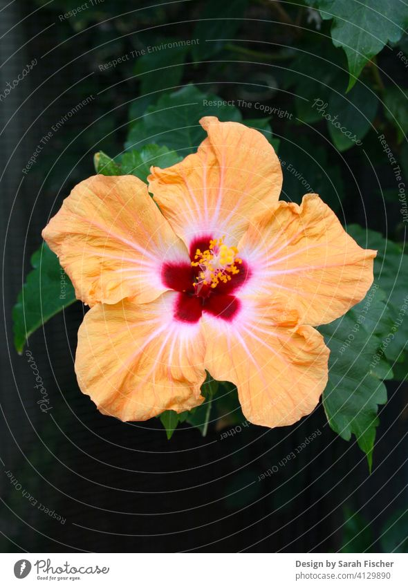 Tropical hibiscus flower with foliage Blossom Orange Red Flower Green Nature nature tropics Flower wreath Leaf leaves grow Gardener Green thumb Pot plant