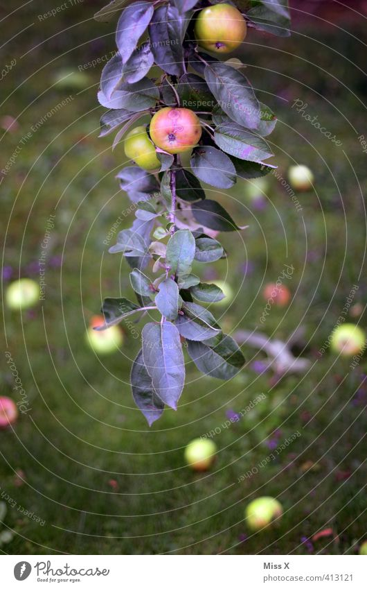 Summer Tree Leaf Autumn Healthy Garden Food Fruit Fresh Nutrition Sweet Branch To fall Apple Harvest Delicious