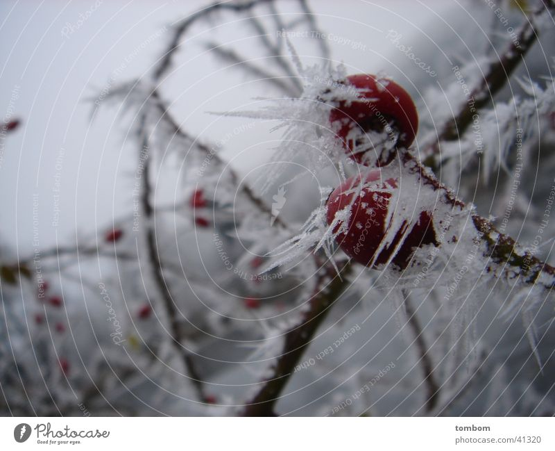 Rosehip in hoarfrost Hoar frost Winter Frozen Cold Icicle Ice Frost Crystal structure Dog rose