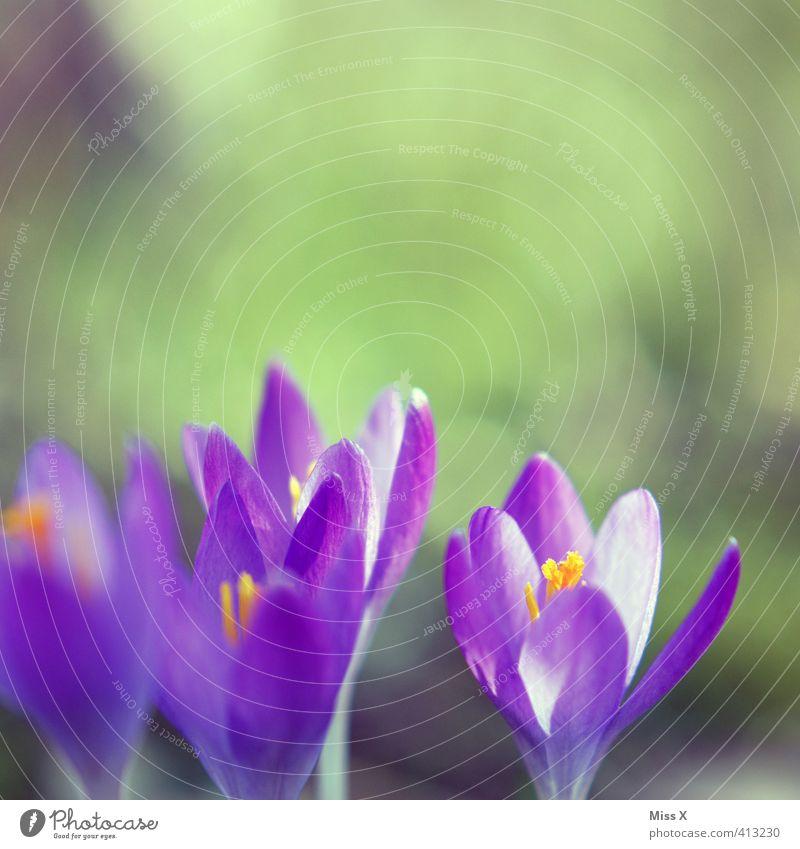 Nature Plant Colour Flower Spring Blossom Hope Blossoming Violet Crocus Spring flower Spring colours Spring crocus