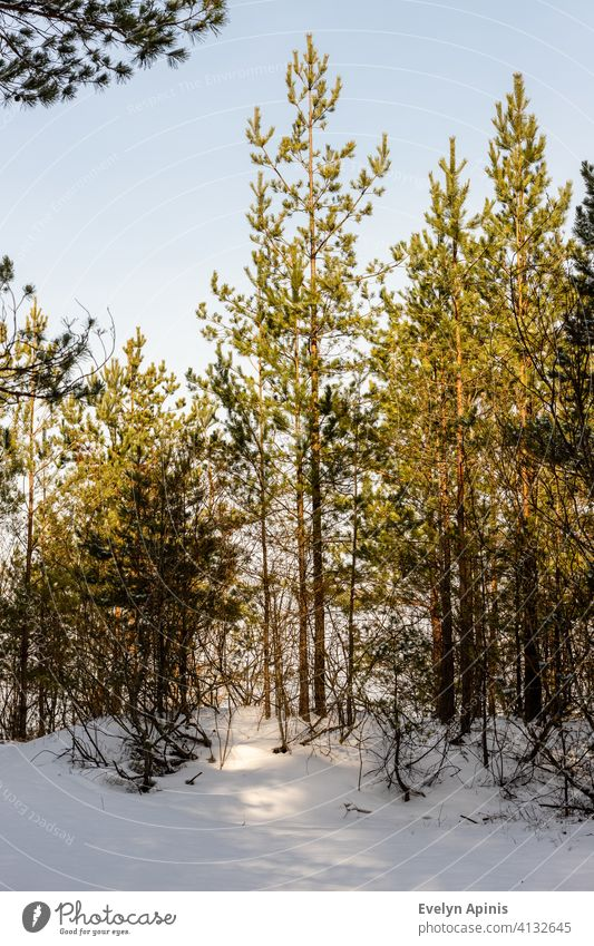 Vertical photo of young pine trees in snow. Small pine trees at bright sunny winter day. Baltic forest in winter near sea. woods sunshine evergreen conifer