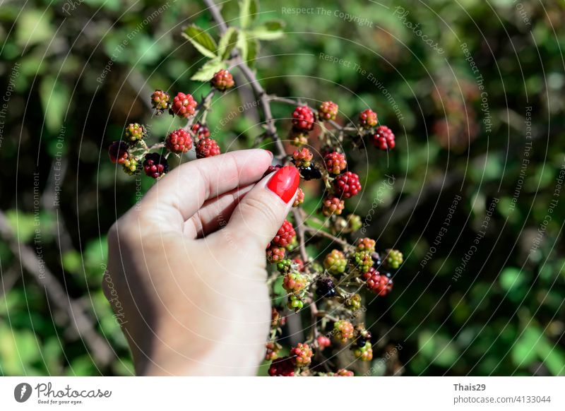 woman's hand picking berries or harvest. Blackberry bush on a branch close-up. Collecting berries. Ripe blackberries on a green background beautiful blackberry