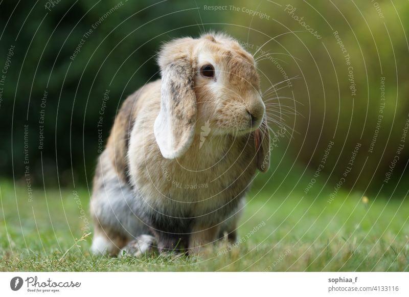 lop eared dwarf ram rabbit sitting on meadow lawn grass cute bunny floppy ears field garden brown holland lop blurred background lop rabbit spring lop ears