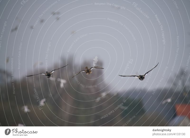 Geese approaching a nature reserve with a flock of birds Anser Anser anser grey geese Wild goose Flight of the birds Exterior shot Animal Deserted Air