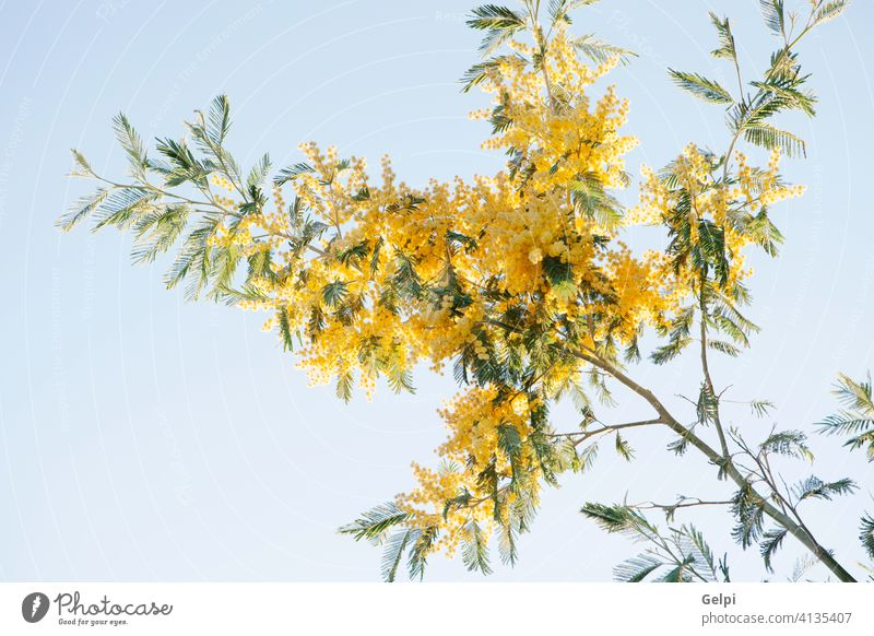 Mimosa branch with yellow flowers mimosa plant nature spring acacia blossom march background tree bright season color bouquet fluffy day green twig beauty women