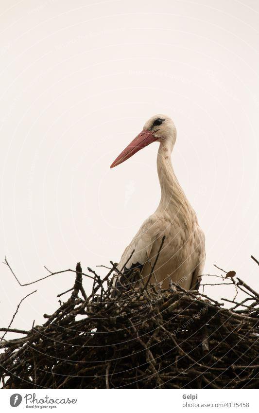 Elegant stork with its nest bird beak white nature animal wildlife red sky feather blue black summer freedom flying wing symbol one birdwatching clear beautiful