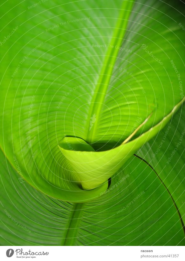 banana palm Green Spiral Palm tree Leaf Fresh