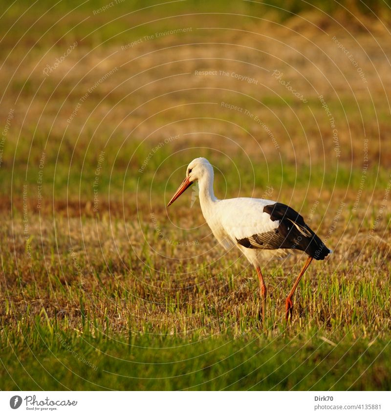 White stork in the evening light on the mown meadow Stork White Stork Meadow Meadow cuttings scythed Grass Grassland Willow tree Exterior shot Green Nature