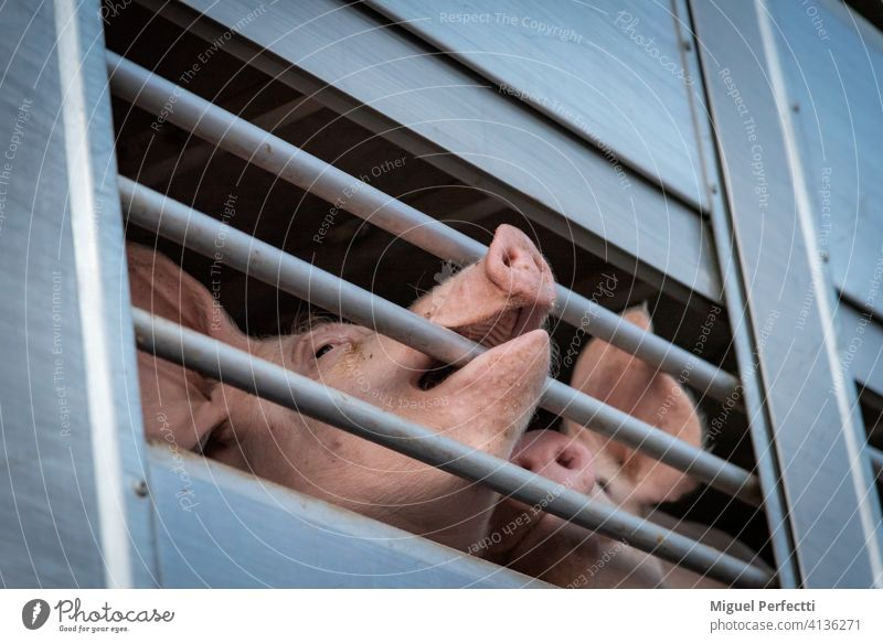 Pigs in a cage truck for transport to the slaughterhouse. pig livestock pork farm animal snout transportation piglet mammal swine pigs hog piggy beasts animals