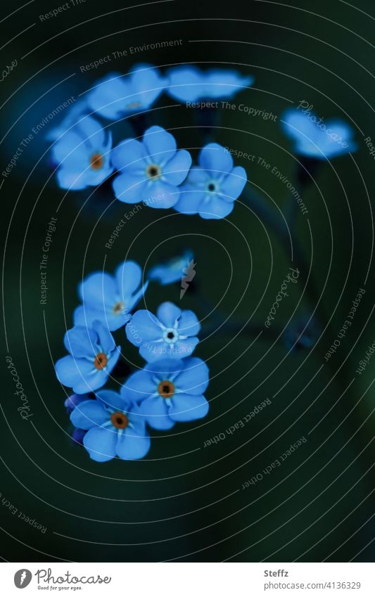 Forget-me-not does not want to be forgotten Myosotis forget-me-not flower Graceful heyday April May romantic Domestic Romance don't forget me keep in mind