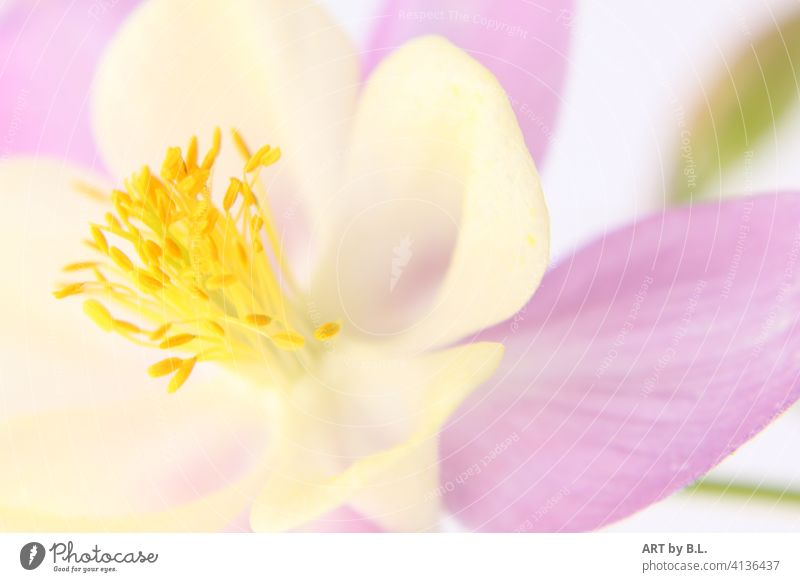 columbine Flower Blossom Garden macro Close-up Aquilegia Plant dwell decoration floral picture foral