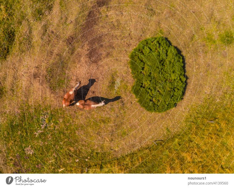 Aerial view of two Haflingers on the pasture Animal animal world Pet Farm animal horses Colour photo Exterior shot Willow tree Grass Horse Summer Brown Green