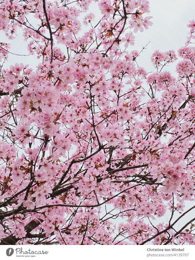 *600* View upwards into a luxuriantly blooming Japanese ornamental cherry tree Cherry blossom Ornamental cherry Japanese cherry Prunus serrulata cherry blossom