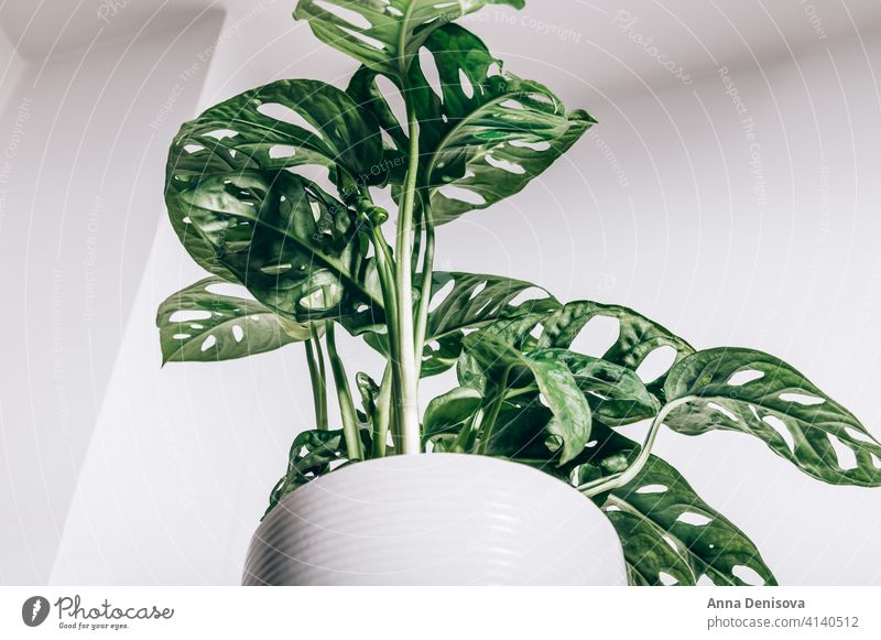Monstera Monkey Mask pot Monstera adansonii Adansons monstera Swiss cheese plant five holes plant leaves nature botany green house growth indoor home decoration