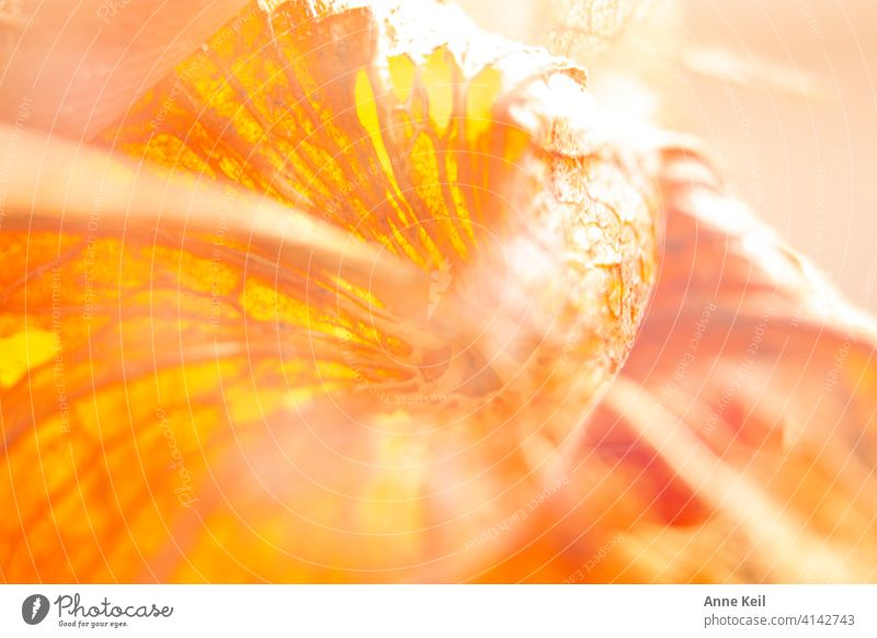Lampion flower double Double exposure Colour photo Deserted Nature Plant Chinese lantern flower Physalis Orange Detail