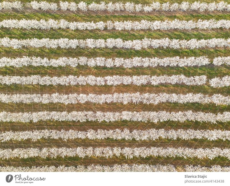 Rows of cherry trees in an orchard in spring, aerial view above agricultural agriculture background blossom conservation countryside crop cultivated drone