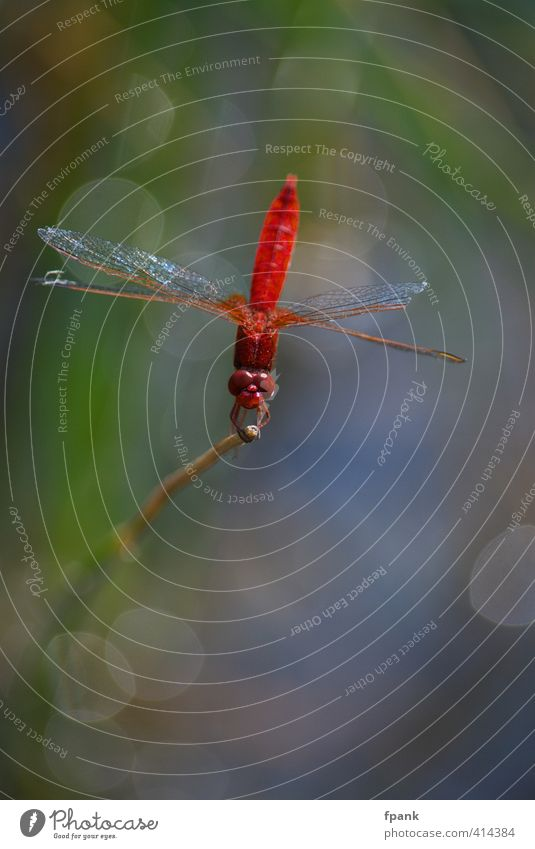 Dragonfly poetry Nature Animal Insect Dragonfly wing 1 Glittering Red Colour photo Exterior shot Macro (Extreme close-up) Day