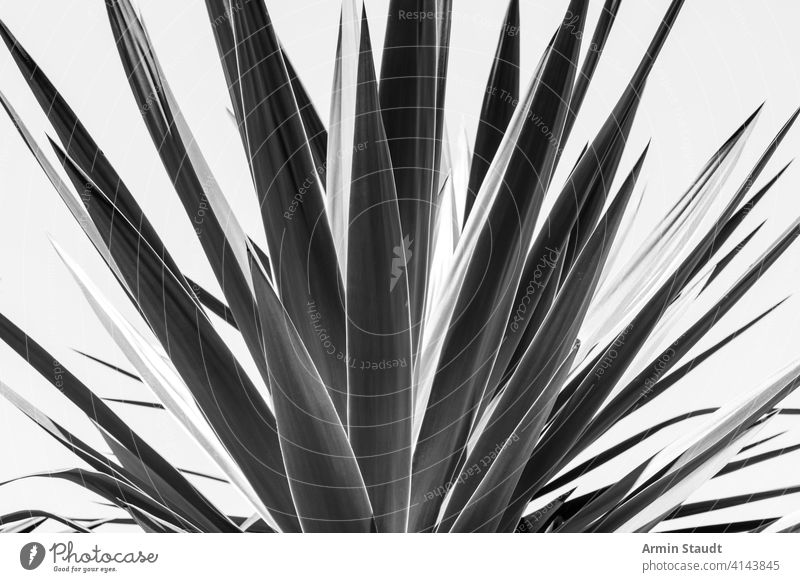 close up of an agave, black and white version aloe background barcelona botany cactus closeup contrast desert dry foliage garden green leaf macro medicine