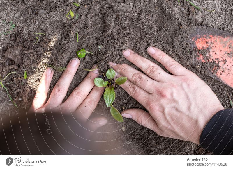 Two man hands planting a young tree or plant while working in the garden, seeding and planting and growing top view, farmers hands care of new life, environment, spring, nature, plants concept