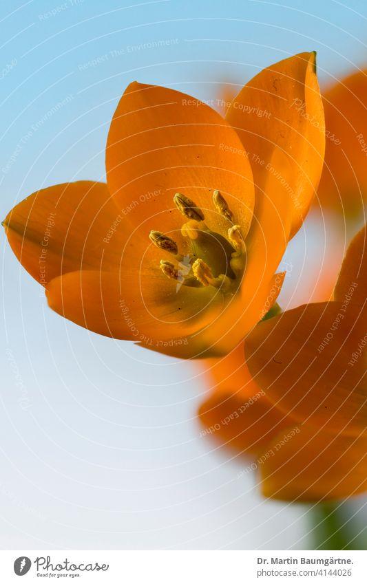 Ornithogalum dubium, orange milk star from South Africa orange milky star from the Cape Province bulb flower shrub Geophyte Plant Flower Blossom Blossoming